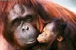 [Image: orangutan.jpg?w=237&h=162]